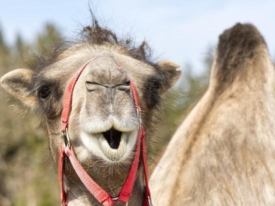 Стадо диких верблюдов терроризирует три села под Астраханью