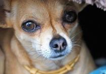 Жертвой москвича на электросамокате стала крохотная собака породы чихуахуа, которая гуляла вместе хозяевами в районе Южное Бутово