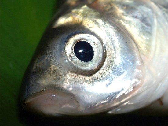 Специалисты не подтвердили массовую гибель рыбы в Марий Эл