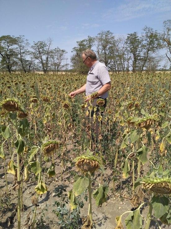 Мыши атаковали поля подсолнечника и кукурузы на Ставрополье