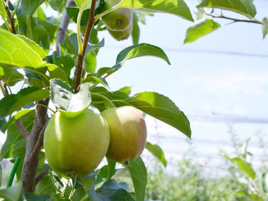 Ставропольский край намерен собрать урожай яблок в 20 тысяч тонн