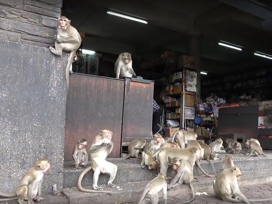 Толпы обезьян устроили погромы и захватили город, одолев полицию