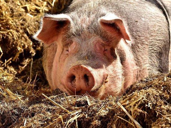 Россельхознадзор ликвидировал очаг африканской чумы свиней в Бутурлинском районе