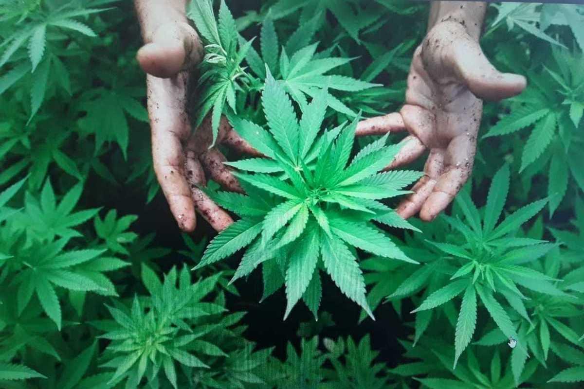 Конопля сбор видео заказать кофту с марихуана