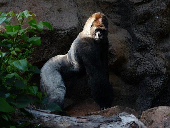 Мужчина получил 11 лет за убийство гориллы