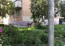 Овца сбежала с Курбан-байрама в Новосибирске