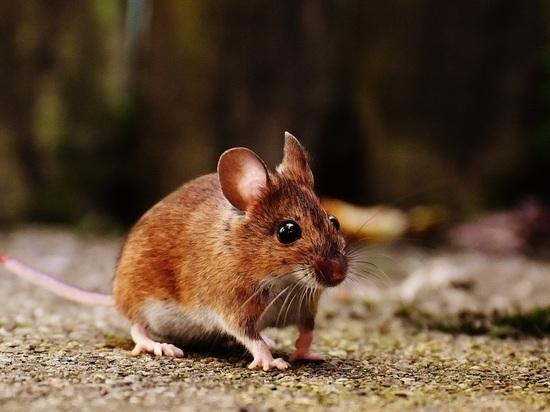 В июле четверо жителей Марий Эл заболели мышиной лихорадкой