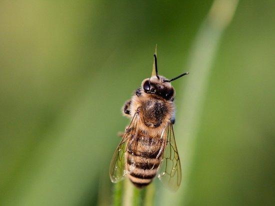 300 пчелиных маток ввезли в Псковский регион