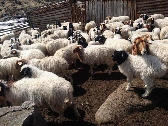 Овцеводам Хакасии заплатят за баранину, которую они сдадут местным переработчикам