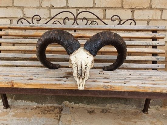 Музею калмыцкого заповедника соседи подарили рога