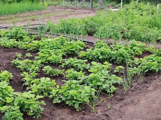 Владельцы огородов в Сорочинске пожаловались на отсутствие воды