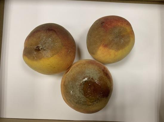 Опасно ли заболевание для человека? Могут ли зараженные фрукты попасть в магазины? Чего опасаться огородникам?