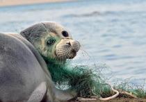 Казахстанский ученый выступил против включения каспийского тюленя в Красную книгу