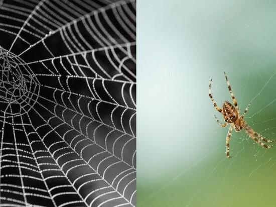 Ряд пауков плетут свои сети с использованием нейротоксинов
