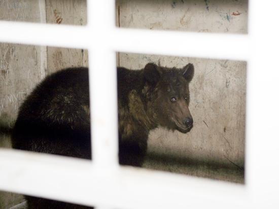 В Сочи дикие медведи загрызли 11-летнего мальчика