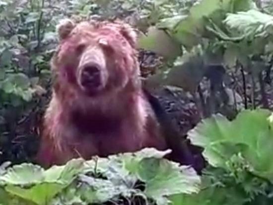 Жители Тверской области испугались медведя с Курильских островов, якобы гуляющего в местных лесах