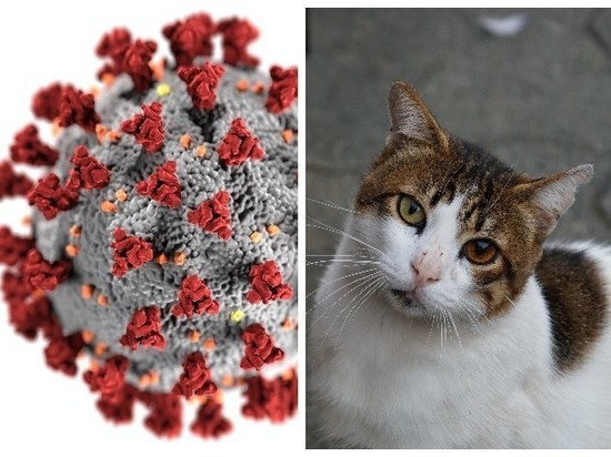 Стало известно, как коронавирус передаётся между кошками