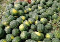 Арбузы удались: в Бурятии собираются выращивать дыни