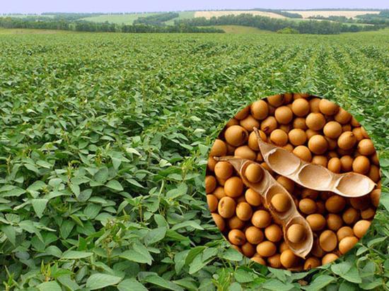 В Липецкой области 11 августа объявлено Днем соевого поля