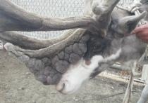 Северный олень Бурка из Мурманской области лишился 5 килограммов веса за считанные часы