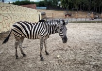В зоопарке Калуги появилась зебра