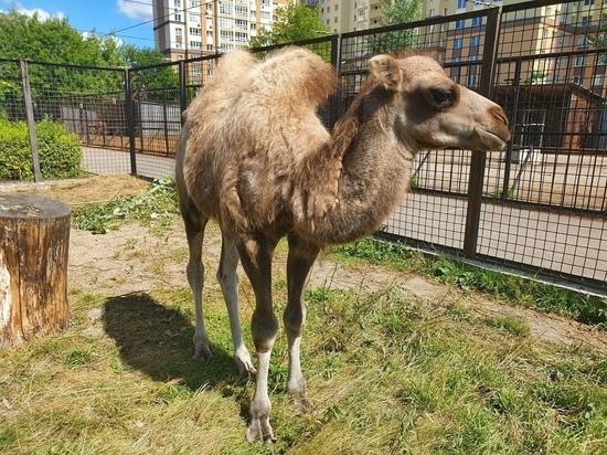 Верблюжонок Заир из ивановского зоопарка в день пьет восемь литров молока