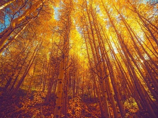 Российские ученые вывели уникальный сорт осины, который изменит лесную промышленность