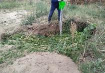В Темрюке пограничники нашли и уничтожили гектар конопли