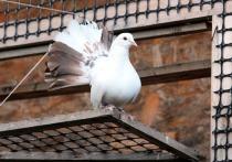 На месте уничтоженной голубятни в Бескудниковском районе Москвы может появиться мемориал всем птицам, погибшим при сносе таких строений