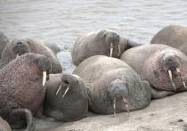 Московские эксперты изучили жизнь моржей и белых медведей на Ямале