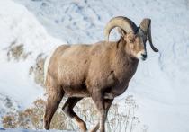 Ямал в следующем году начнут заселять снежными баранами