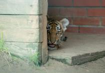 Редких амурских тигров на планете стало на четыре особи больше
