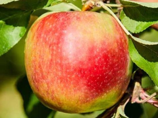 В Липецкой области начался сбор осенних сортов яблок