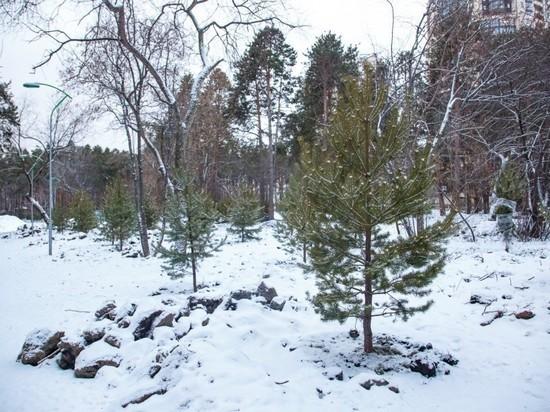 В екатеринбургской Зеленой роще высадили около 500 хвойных деревьев