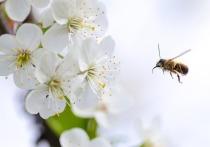 Проведенное австралийскими учеными на мышах исследование показало, что яд медоносной пчелы убивает клетки рака груди