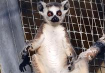 У доминирующей самки семейства кошачьих лемуров в столичном зоопарке появился детеныш