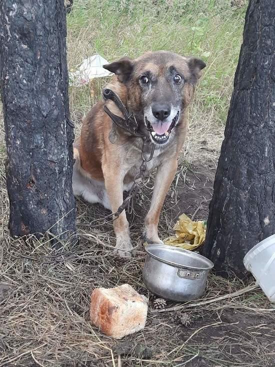 В Белово живодеры приковали собаку в лесу