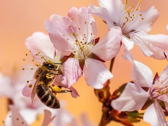 Австралийские ученые борются с раком с помощью пчелиного яда