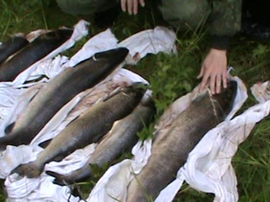 На реке Йоканьга пойманы браконьеры с крупным уловом рыбы
