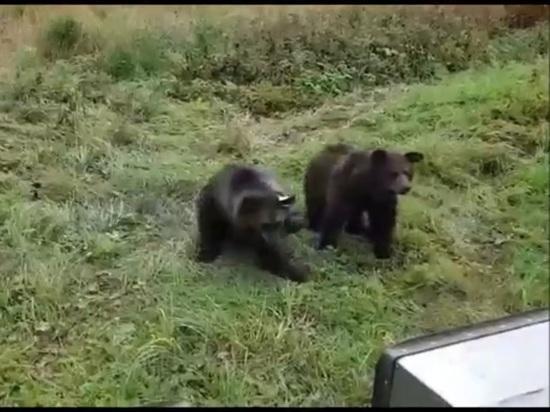 Стала известна судьба карельских медвежат, которых оставила медведица, испугавшись шума