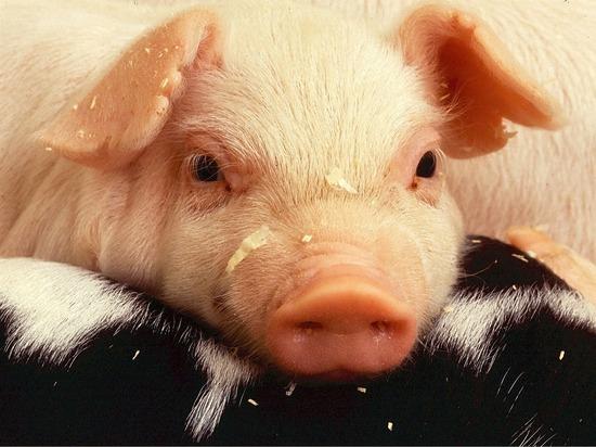 Африканская чума свиней через Грузию и Россию попала в Германию
