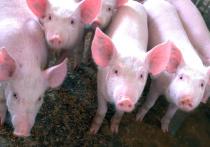 Проведенное канадскими и американскими экспертами исследование показало, что свиньи могут быть заражены коронавирусом