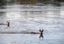 На реках Хакасии ждут массовую миграцию косули и оленя благородного