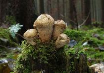 Сотрудники областного Комитета лесного хозяйства предупреждают любителей тихой охоты о появлении в подмосковных лесах ложных дождевиков