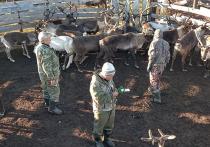На Ямале завершается вакцинация оленей против сибирской язвы