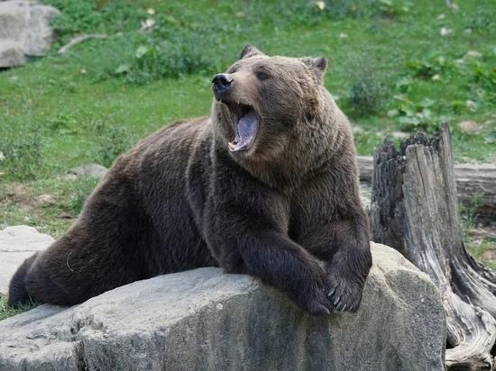Специалисты отпугнули медведей от плюсской деревни