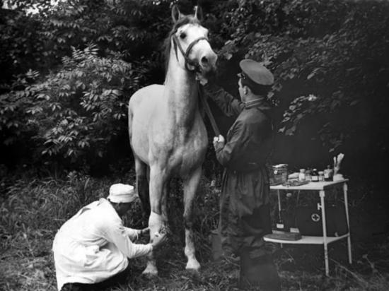 К 1945 году военные ветеринары возвращали в строй до 90 процентов раненых лошадей