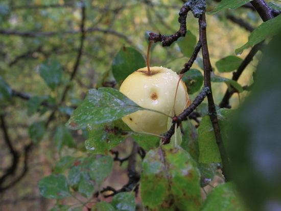 Легендарные казахстанские яблоневые сада атакует заморская зараза