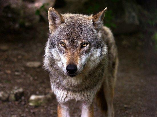 Экс-глава Минприроды Забайкалья Волков рассказал об аферах с волчьими шкурами