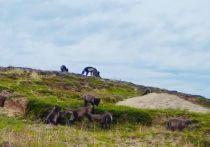 Десятки щенят: песцы на Ямале дали огромное потомство